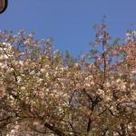 桜4月2日 (1)